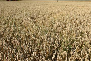 schokolikör selber machen mit korn